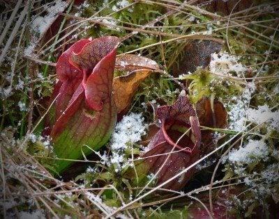 pitcher-plant-winter