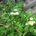 pyrethrum-daisies