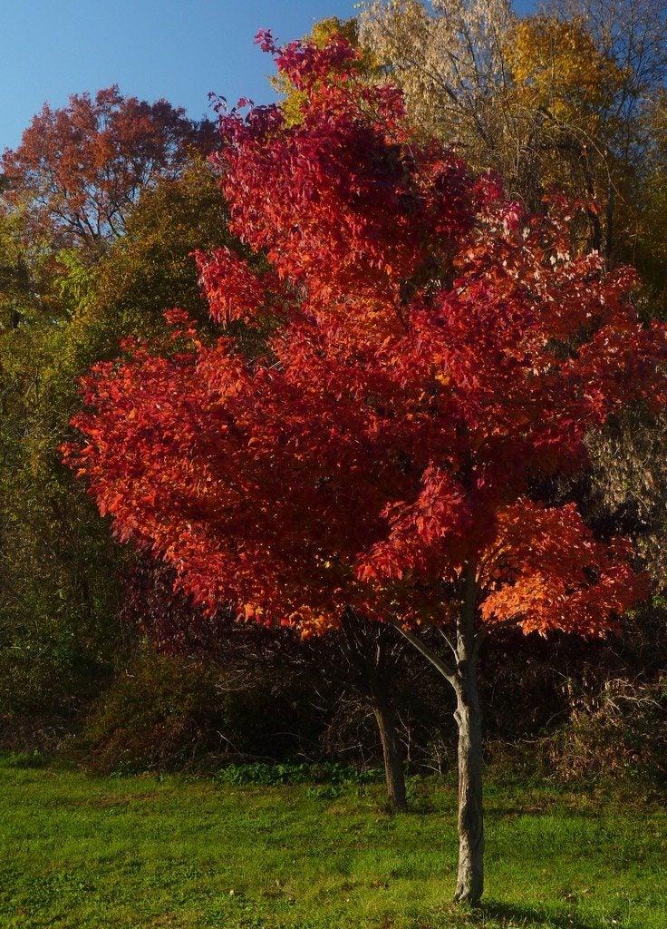Japanese Red Maple Tree Types Red Maple Tree Jpg