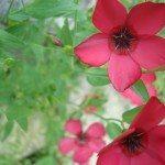 scarlet-flax