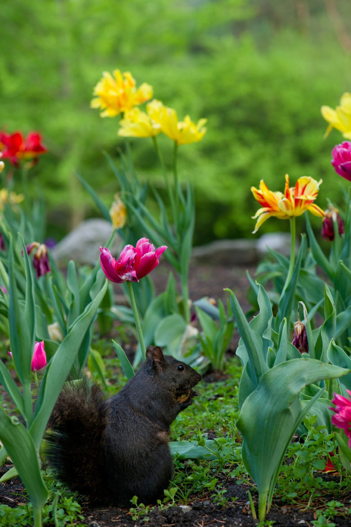 Bulbs Avoided By Squirrels – Information Flower Bulbs That Deter Squirrels