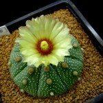 star-cactus