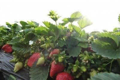strawberries in sun