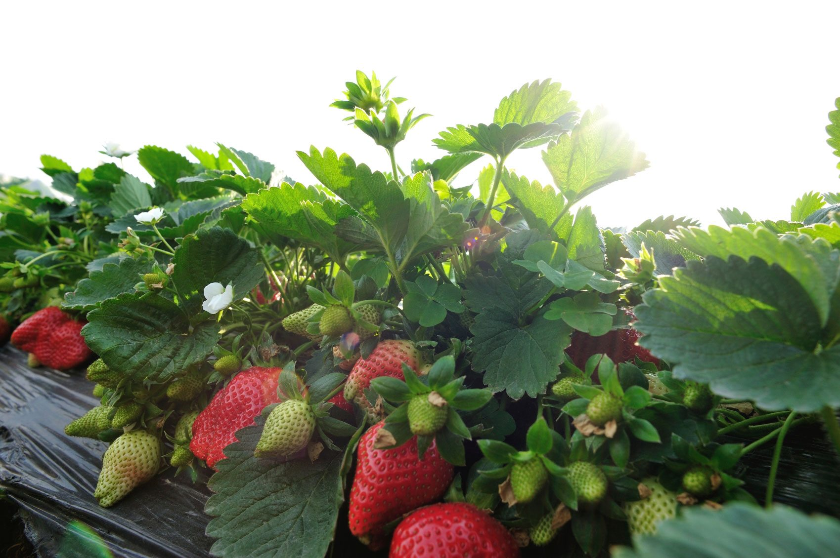 Caring For Strawberries In Hot