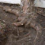 General Tree Careinvasive Root