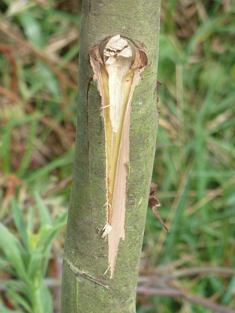 Tree Wound Dressing Information On Using Dressing On