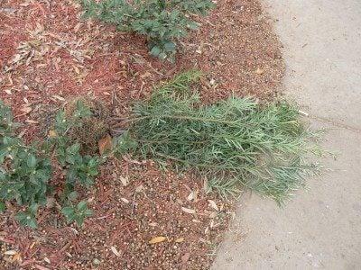 uprooted-shrub