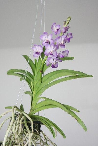 vanda-orchid