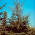white-pine-blister-rust