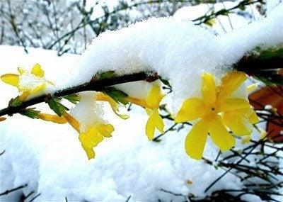 winter-jasmine
