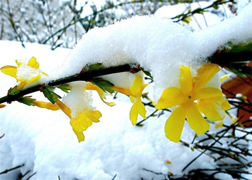 jasmine winter care how to keep jasmine over winter. Black Bedroom Furniture Sets. Home Design Ideas
