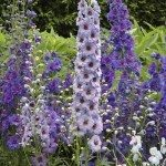 Selection of Delphiniums for garden perennial herbaceous border.