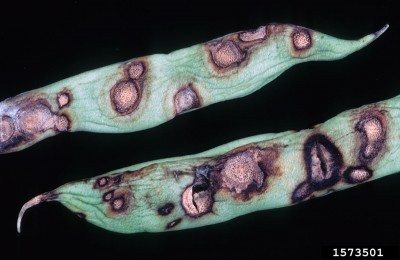 Beans covered with spots: reasons for brown spots on beans