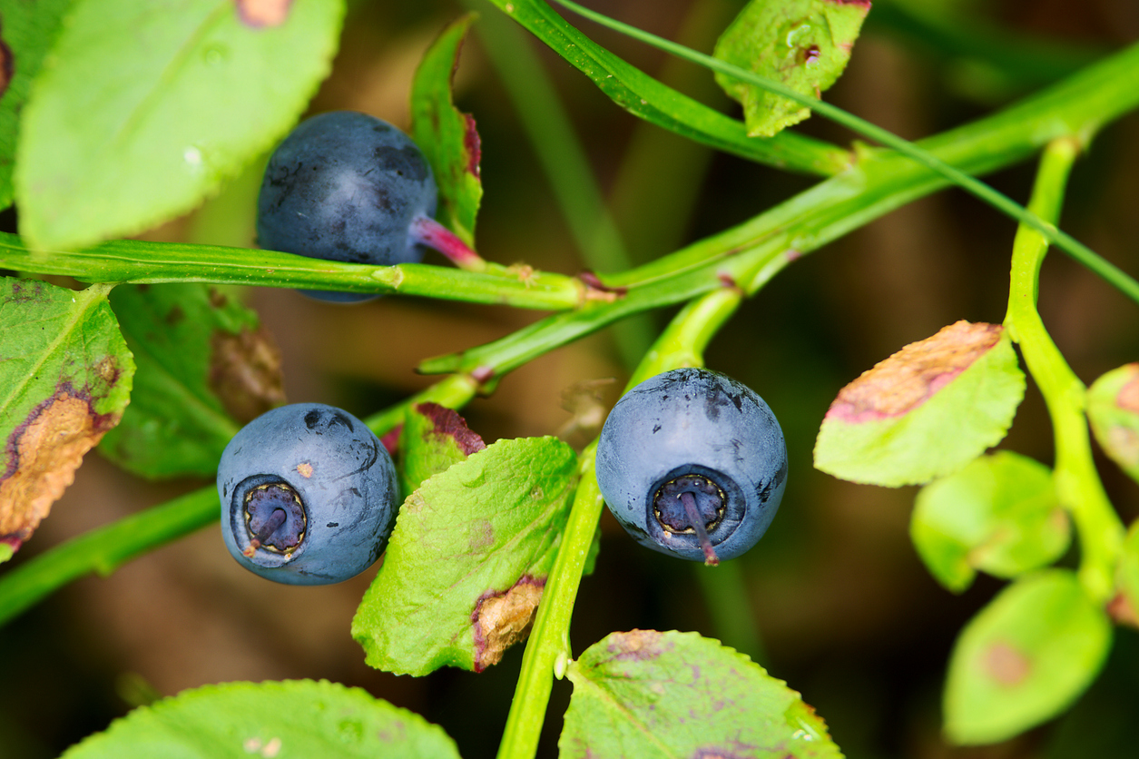 Where Do Huckleberries Grow How To Grow Huckleberry Plants