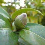 camellia-bud