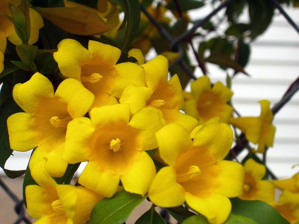 Carolina jessamine info caring for carolina jessamine plants izmirmasajfo