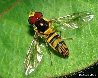 Hover Fly Information Plants That Attract Flies To The Garden