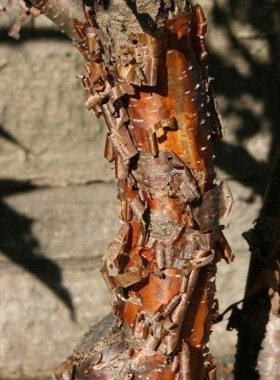 lilac-bark-shedding