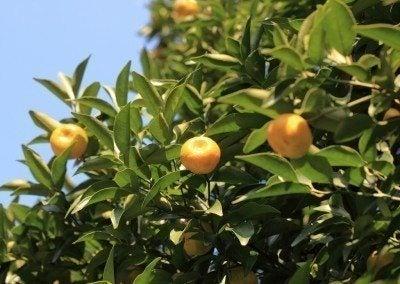 Mandarin orange tree care: planting a mandarin orange tree