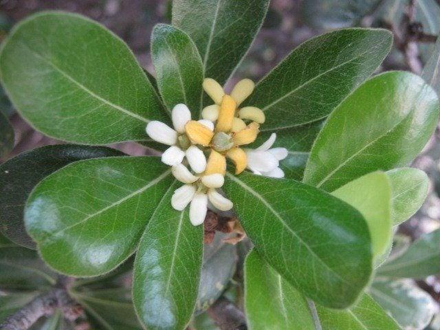 japanese pittosporum care  u2013 how to grow pittosporum shrubs