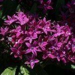 purple-pentas