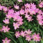 rain-lilies