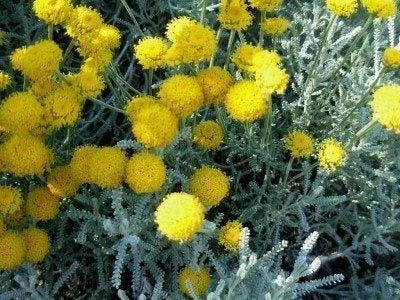santolina-herb