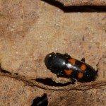 sap-beetle