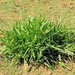 signalgrass
