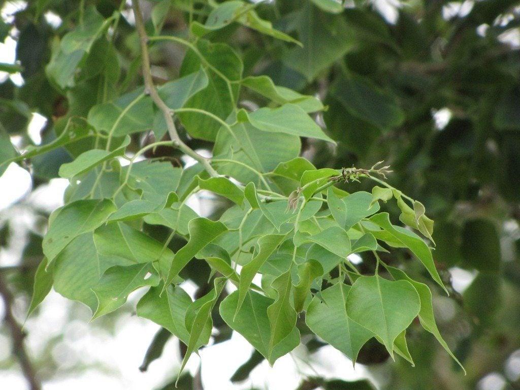 Sissoo Tree Care – How To Grow A Sissoo Tree