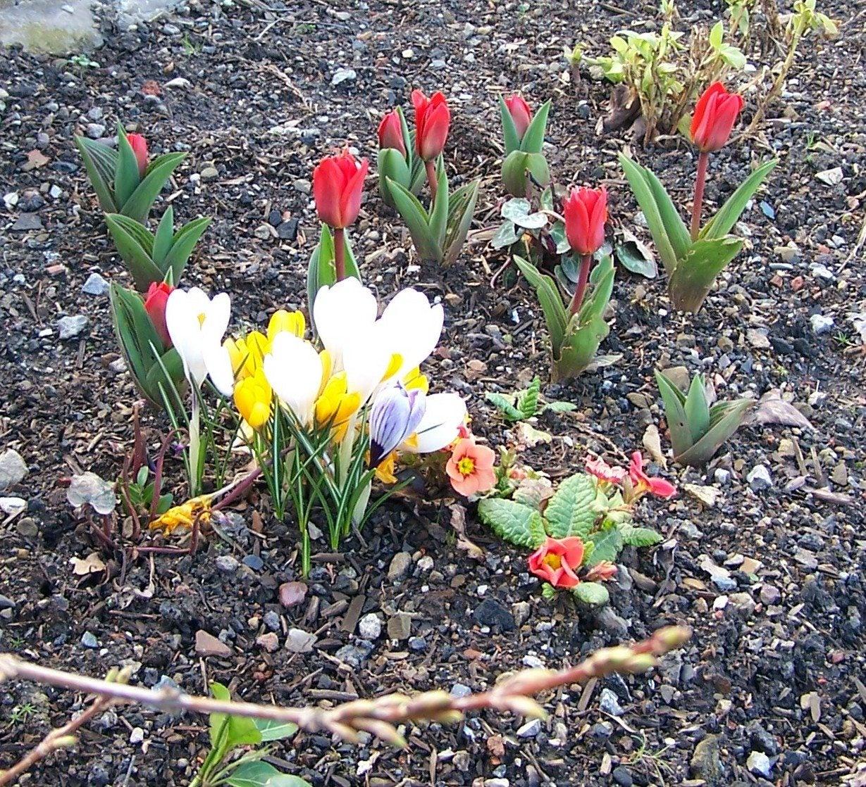 Spring Flower Bulbs Flower Gardening With Spring Bulbs