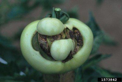 tomato-catfacing