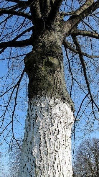 white-tree-trunk