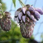 wisteria-buds