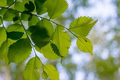 Alder tree identification recognizing an alder tree in the landscape alder tree identification mightylinksfo