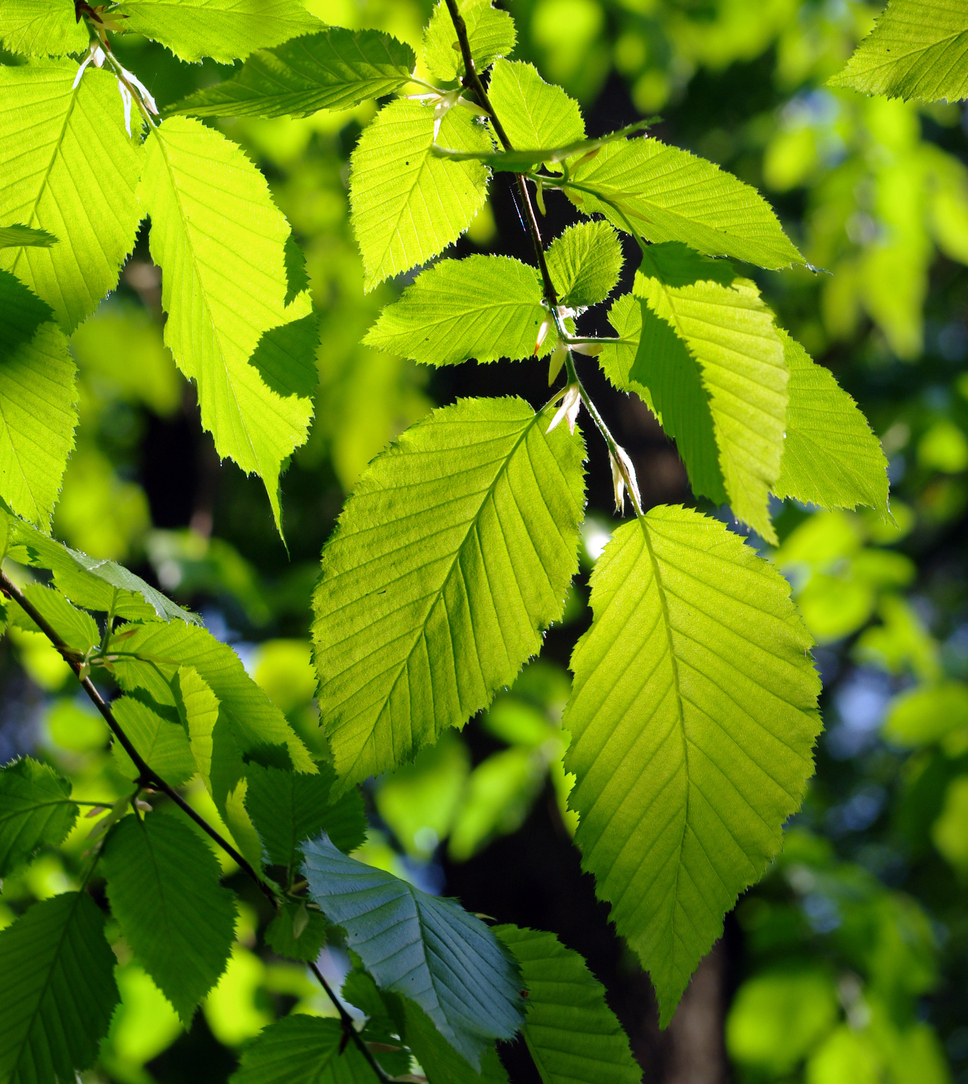 Recognizing An Alder Tree In