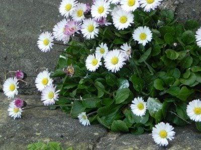 english-daisies