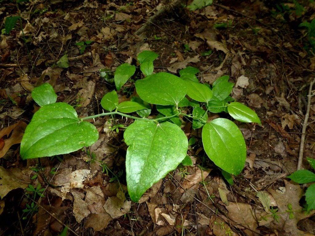 Image result for Greenbriar