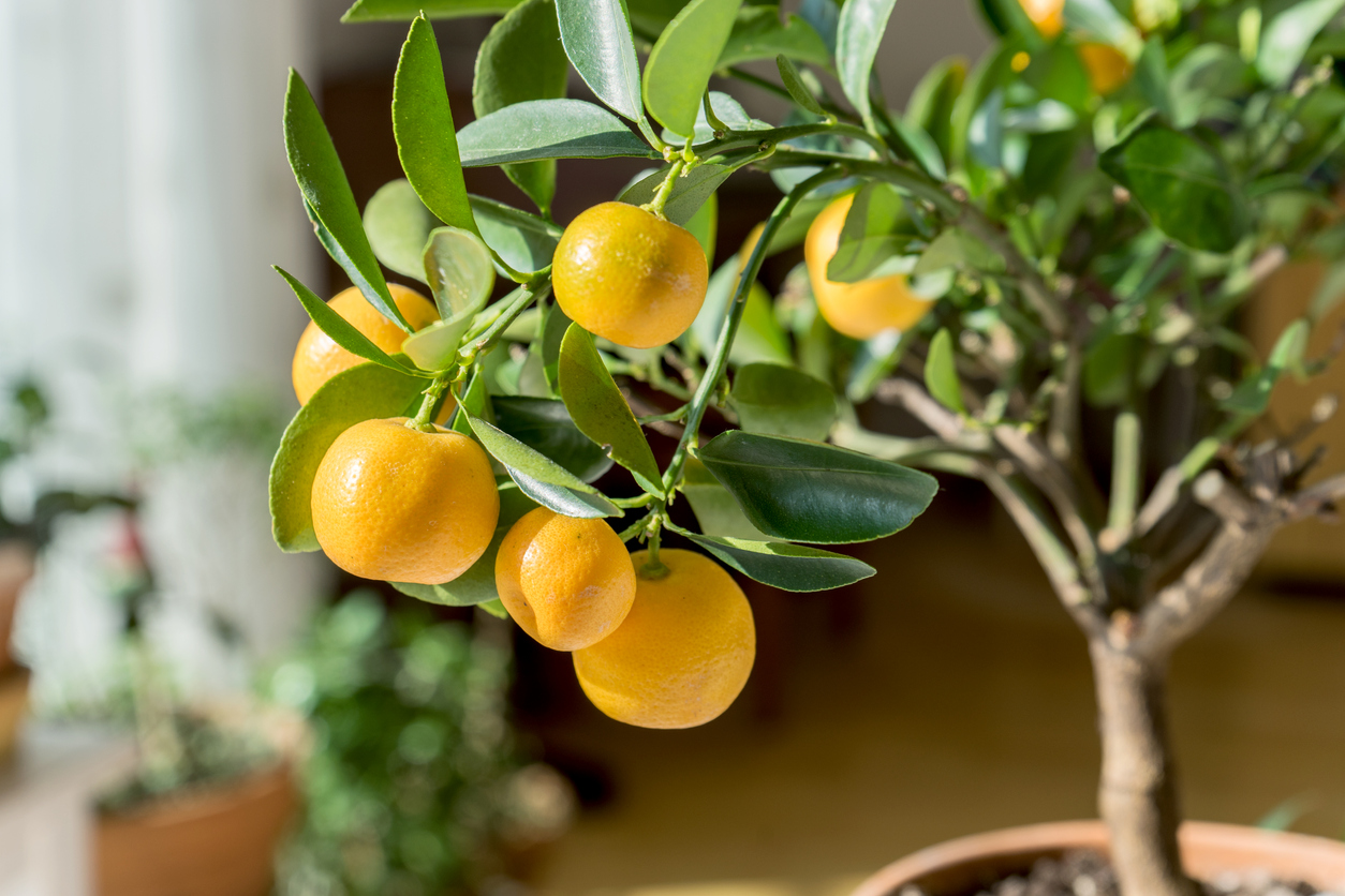 fruit trees you can grow indoors