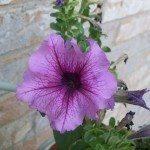 petunia-bloom