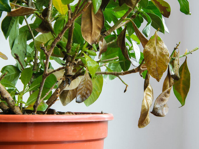 Treating Gardenia Problems Learn About Common Diseases Of Gardenia