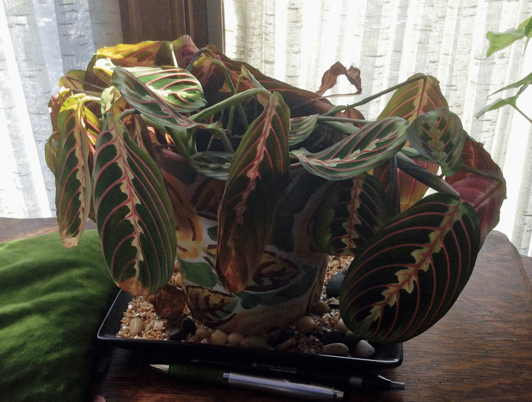 Maranta Prayer Plant Problems What To Do When Prayer Plants Turn Yellow