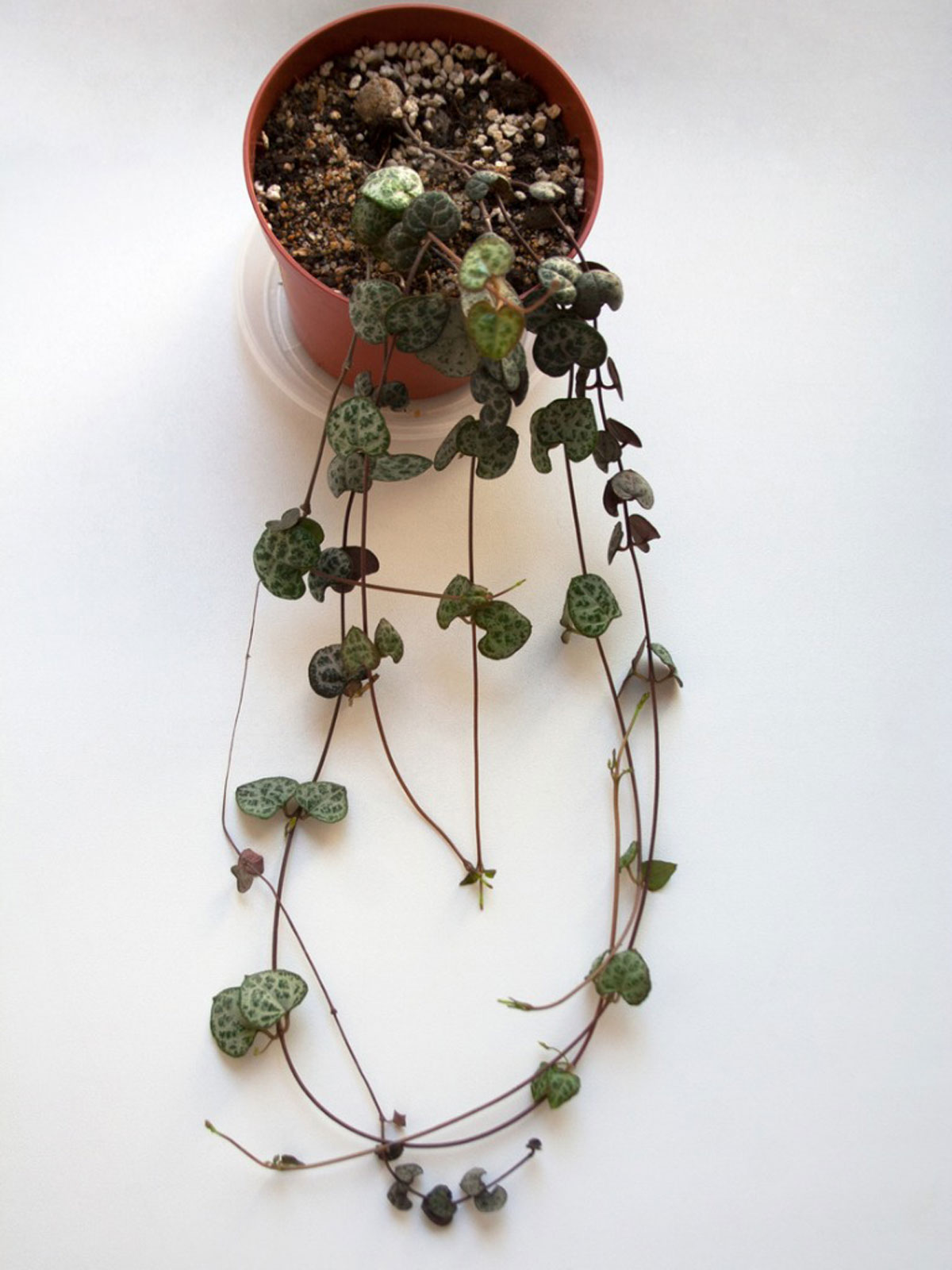 Rosary Vine Plant Care Growing