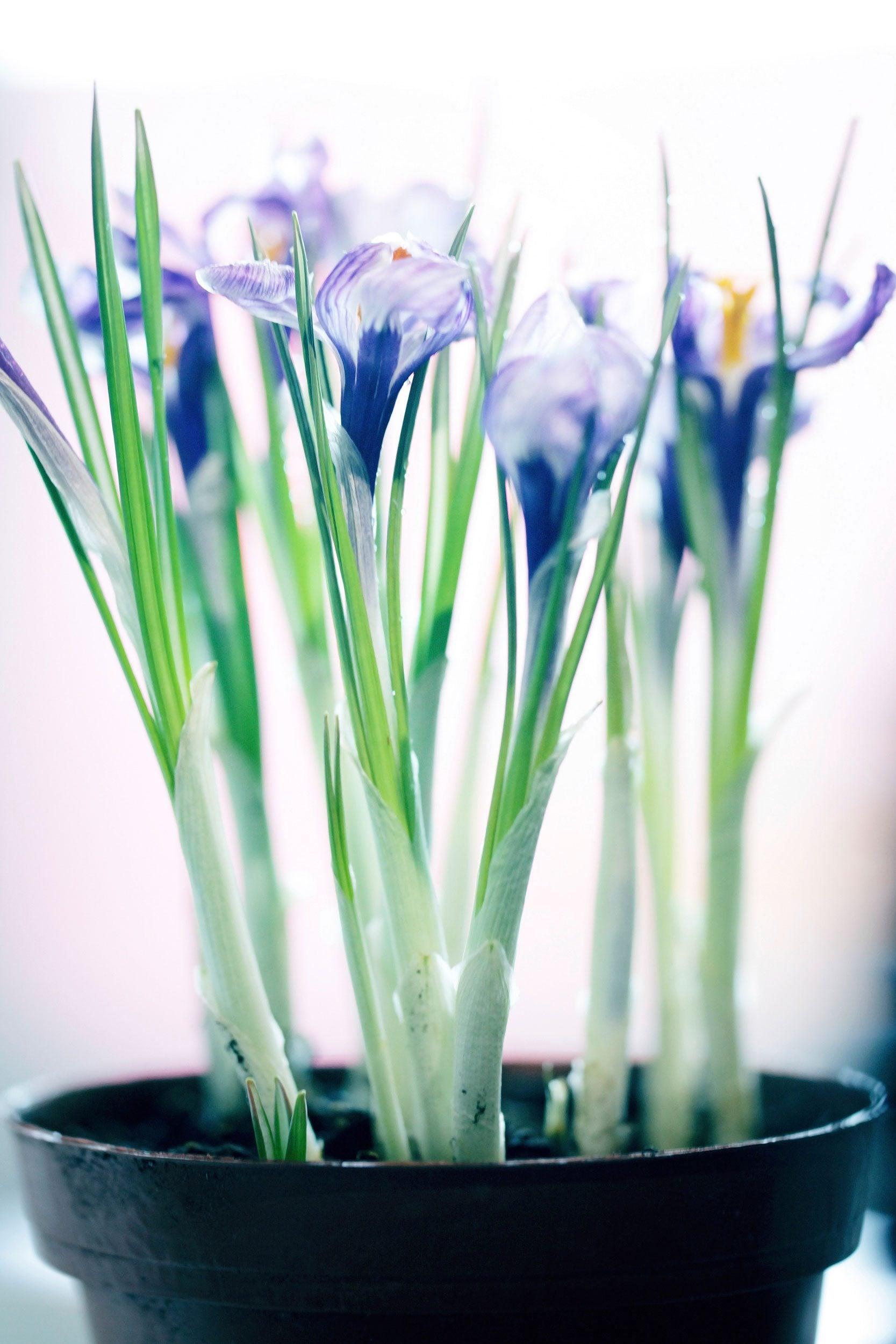 Indoor Saffron Care - How To Grow Saffron Crocuses Inside