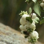 snowberry-bush