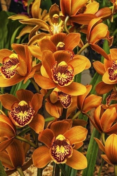 What Is A Cymbidium Orchid Information