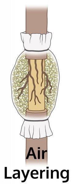 Mi az Air Layering: Ismerje meg az Air Layering növények