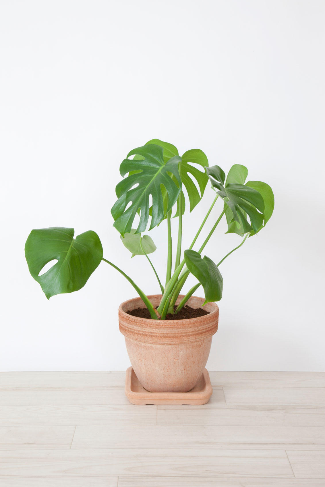 Monstera plant care when and how to repot a swiss cheese for Plante monstera