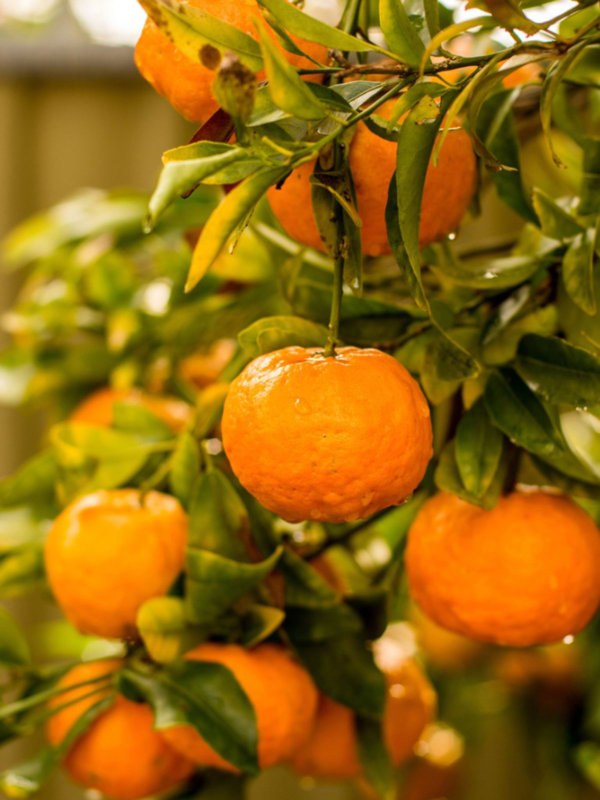 Mandarin Orange Info - Tips For Growing Mandarin Oranges