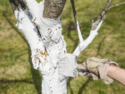 White Tree Trunk Paint Why Do People Paint Trees White